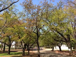 小金井公園の新芽